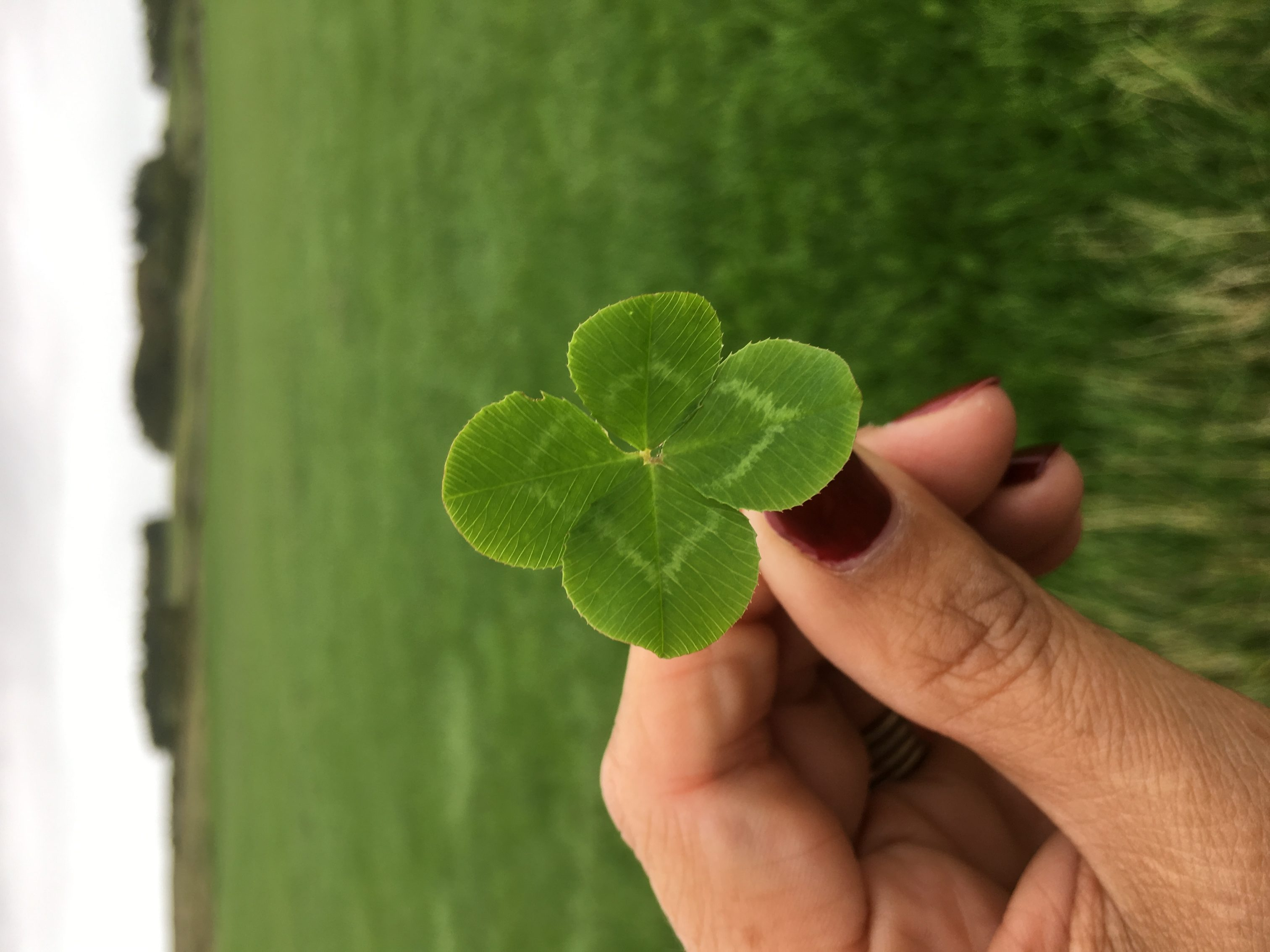 Four Leaf Clover Good Luck Everyone