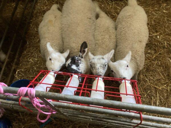 Lambs Feeding at Ross Bay